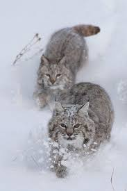 Bobcats running in snow. I picked this animal for my mammology class to  study! I'm excited to learn more about them :) | Wild cats, Animals, Small  wild cats